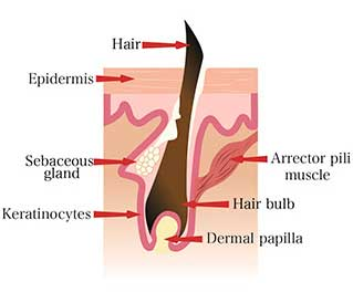 Hair Anatomy - Diagram B